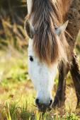 Porträt von einem weißen Pferd Camargue