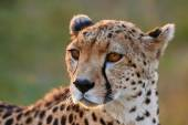 Portrait of a wild female cheetah