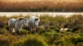 Két fiatal fehér ló a camargue