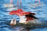 Gyönyörű flamingo vesz egy fürdőt