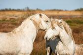 Due cavalli bianchi della camargue