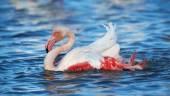 Wunderschönen Flamingo nimmt ein Bad