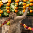 Постер, плакат: Thailand Monkey Party Thailand Monkey Buffet