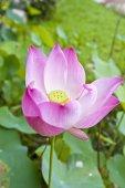 Lotosový květ