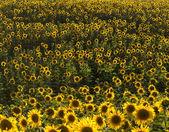 Pluralita slunečnice v poli. Přirozená