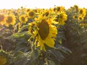Profil slunečnice na pozadí pole v paprscích s