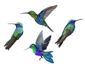 Hummingbird (colibri) birds set vector illustration