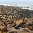 ������, ������: Cape fur seals