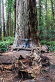 Trying to Span a Redwood Tree at Redwoods National Park