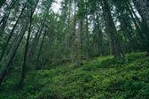 Misty coniferous forest