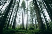 Misty coniferous forest at dawn  in Carpathians