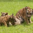 Постер, плакат: Baby Indochinese tigers play on the grass