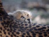 Baby Gepard auf Gepard Mutter liegend