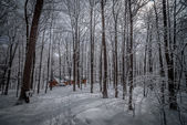 Maple sugar shack in the winter woods.  Maple sap buckets on trees in an urban winter woods.