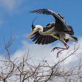 Black-white  flying cran