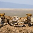 Постер, плакат: Two cheetahs in the savannah