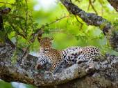 Gepard leží na stromě