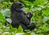 One of the most endangered animals, the Mountain Gorillas close up
