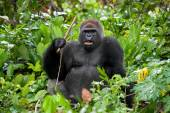 Large gorilla sitting with a stick in hand