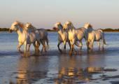 Fehér camargue lovak