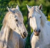 Porträt von zwei weiße Pferde