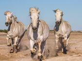 Galoppierende Weiße Pferde