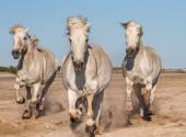 Bianco cavalli galoppanti