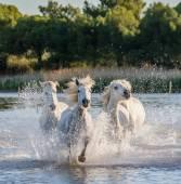 Weißen Camargue-Pferde