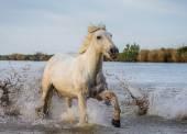 Weißen Camargue-Pferd