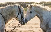 Ritratto di due cavalli bianchi