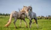 Due bianchi Camargue stallion giocando