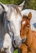 Mutter-weißes Pferd mit baby
