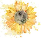 Slunečnice s splahes. Vektorové ilustrace akvarel
