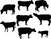 Krávy s telátkem bw
