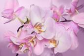 Bellissimo sfondo del racemo di fiori di orchidea rosa chiaro. È un buon esempio di come perfettamente orchidea può fioritura. Orchidea phalaenopsis fiore è come una farfalla tropicale