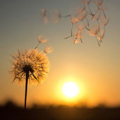 Dandelion against the backdrop of the setting sun
