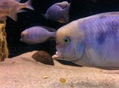 Detail ryb v akváriu