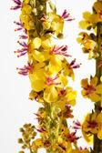 Agrimony, bach flower