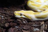 Albino-python