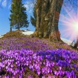 Постер, плакат: Spring flowers crocuses in Carpathians