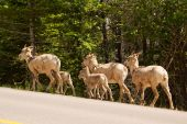 Family of bighorn sheep