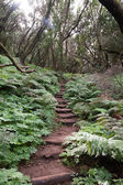 Trecking path in the laurel forest, gomera