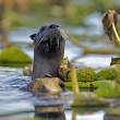 Постер, плакат: River Otter among water lilies watching alert
