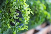 Chiuda in su della pianta verde in pot di fiore di plastica appesi sul bordo giardino verticale