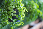 Zelených rostlin v hrnci