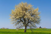 Between Puglia and Basilicata: spring landscape with wheat field.ITALY.Lone tree in bloom over corn field unripe.