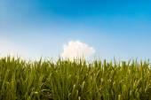 Zelená cukrová třtina pole a modré nebe