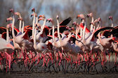 Group of Greater Flamingos