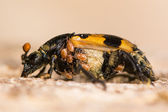Nicrophorus vespillo burying beetle with mites
