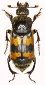 Burying Beetle on white Background  -  Nicrophorus vespillo  (Linnaeus, 1758)